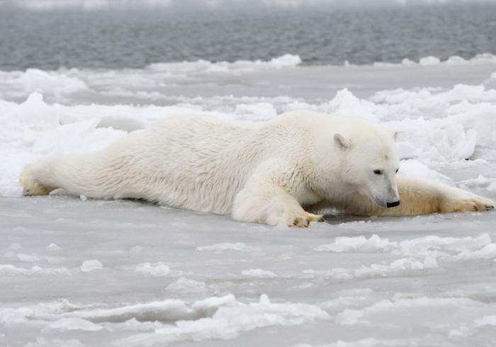 Заблудившегося белого медведя Умку на вертолете вернули на родину