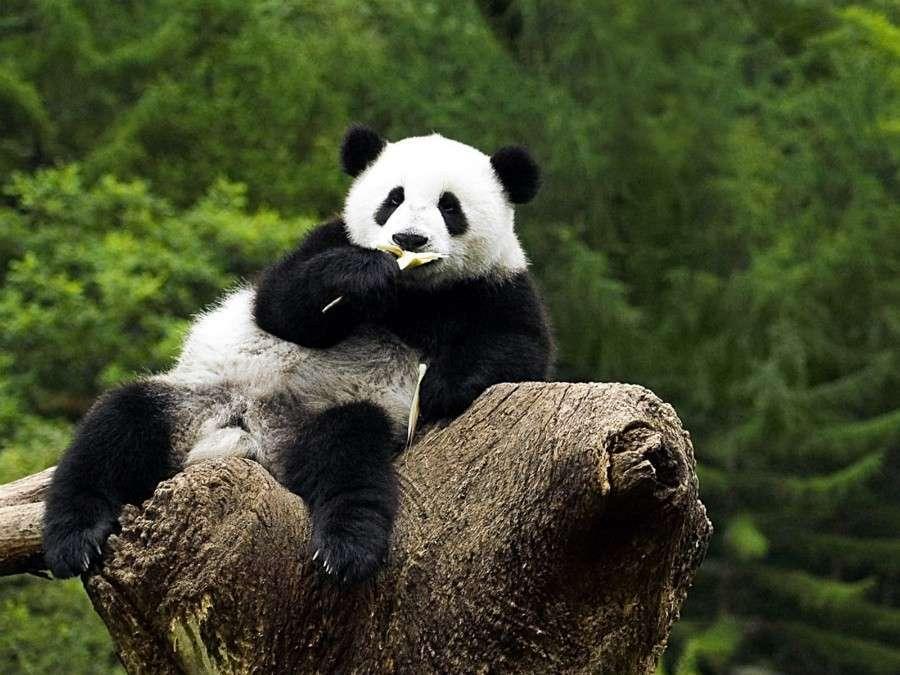 Ленивая-панда