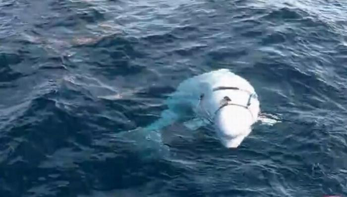 Норвежцы заявили, что поймали очень вежливого российского «боевого» кита