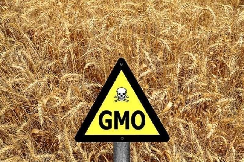 ГМО в сельском хозяйстве России. Правда ли, что наши поля сплошь засеяны ГМО?