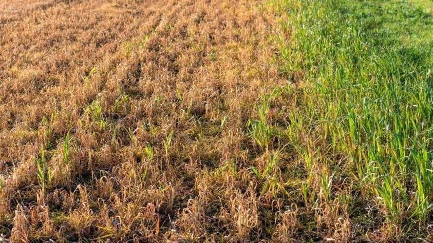 Красно-коричневая трава после обработки гербицидом
