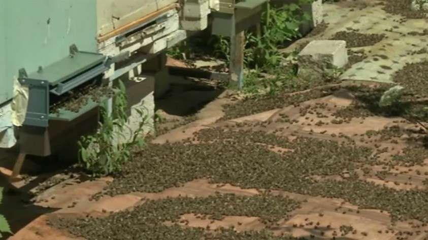 Мертвые пчелы на пасеке в Рязанской области
