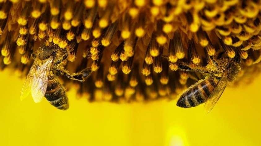 В России из-за применения пестицидов массово гибнут пчелы