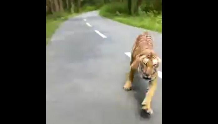 Тигр попытался напасть на мотоциклиста и его спутника на дороге в Индии