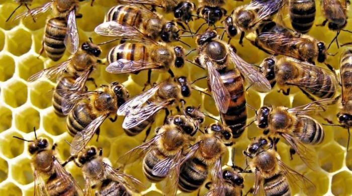 Массовая гибель пчёл происходит во всех регионах России – признали в Минсельхозе