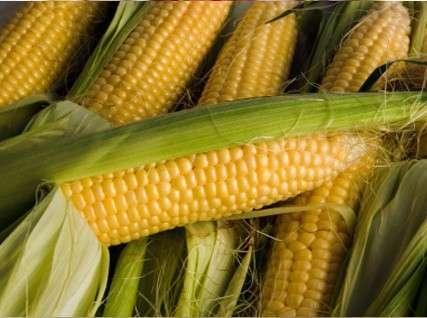 Россия: экспорт кукурузы достиг рекордного уровня