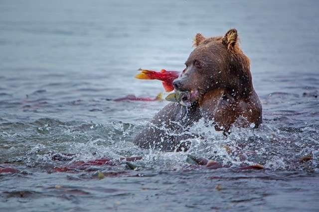 Камчатка. Земля медведей
