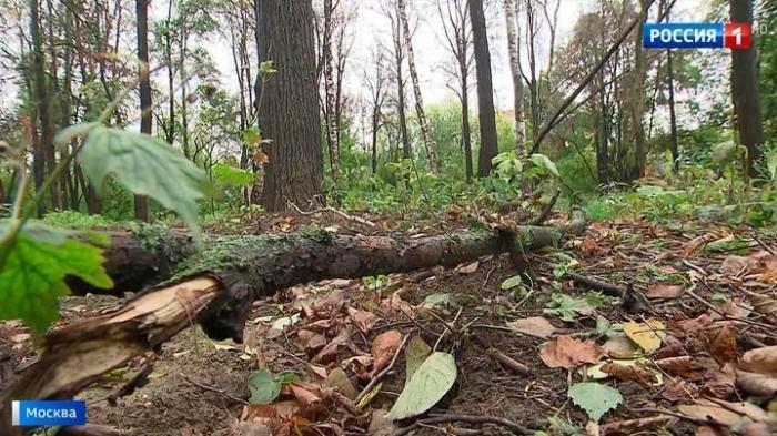 Массовая гибель деревьев в Филевском парке Москвы: кто намеренно убивает растения?