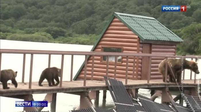 На Дальнем Востоке бурые медведи массово атакуют города