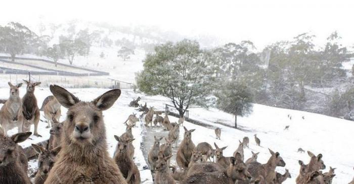 Кенгуру недоумённо прыгают в сугробах: в Австралии впервые за 35 лет выпал снег