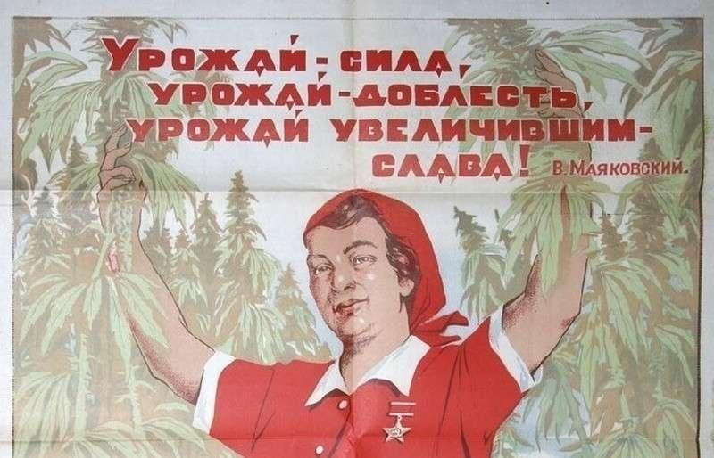 Сверхдоходы от русской конопли: почему мировое лидерство сменилось отказом от выращивания культуры