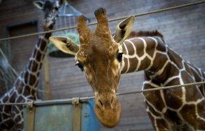 В Копенгагене умертвили львов, которым был скормлен жираф Мариус