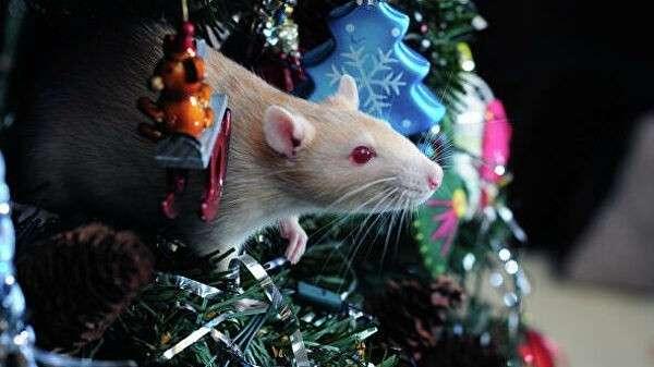Крыса и новогодняя ель