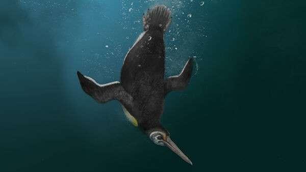 Реконструкция облика ископаемого пингвина Kupoupou stilwelli, обитавшего 62,5-60 миллионов лет назад