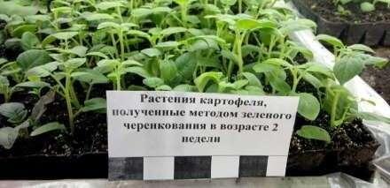 В Челябинске создали фитотронную установку для выращивания картофеля