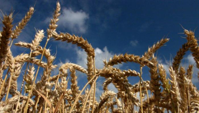 В России собрали урожай зерна, достаточный для её продовольственной безопасности