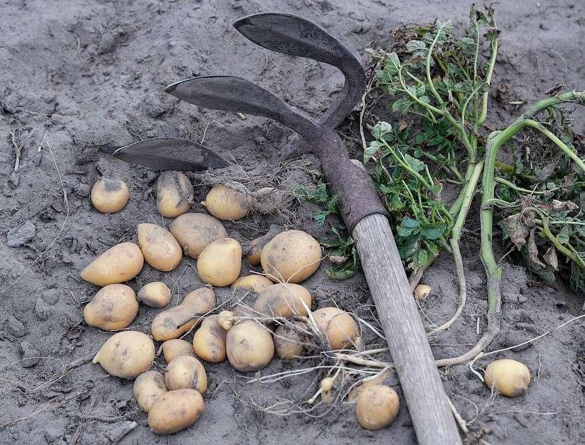 Неужели даже картошку вырастить не можем, отчего и таскаем ее аж из Египта? Фото: GLOBAL LOOK PRESS