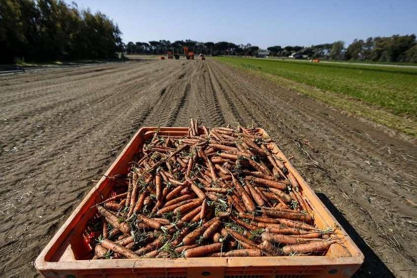 В Россию морковь попадает из Белоруссии, Китая и Израиля. Фото: GLOBAL LOOK PRESS