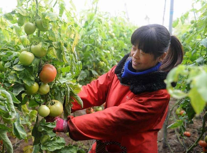 Выращивание помидоров в Китае. Фото: GLOBAL LOOK PRESS