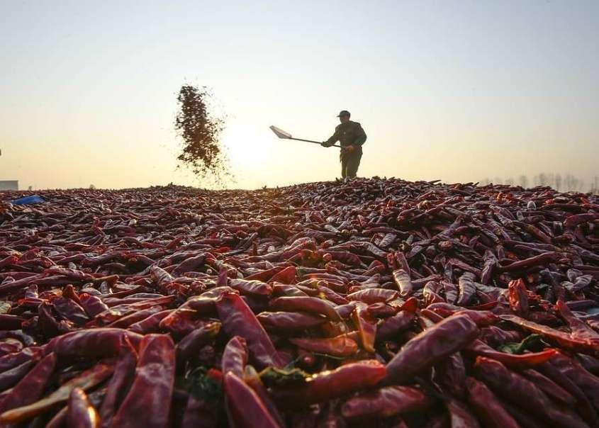 Сбор урожая перцев в Китае. Фото: GLOBAL LOOK PRESS