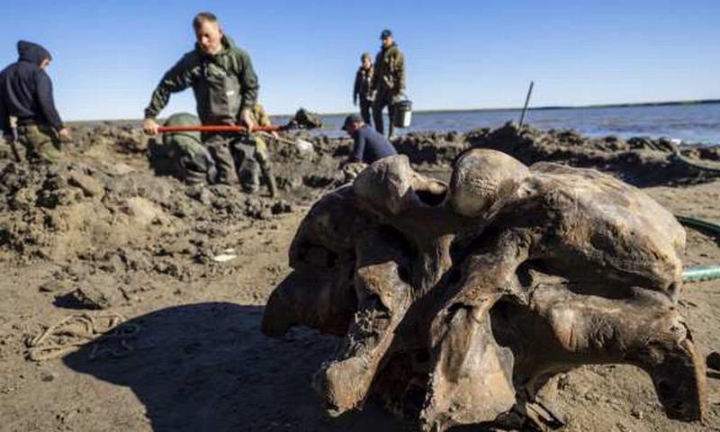В России найден уникальный отлично сохранившийся мамонт
