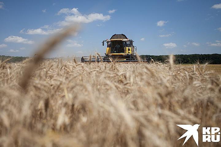 В России собирают рекордные урожаи зерна
