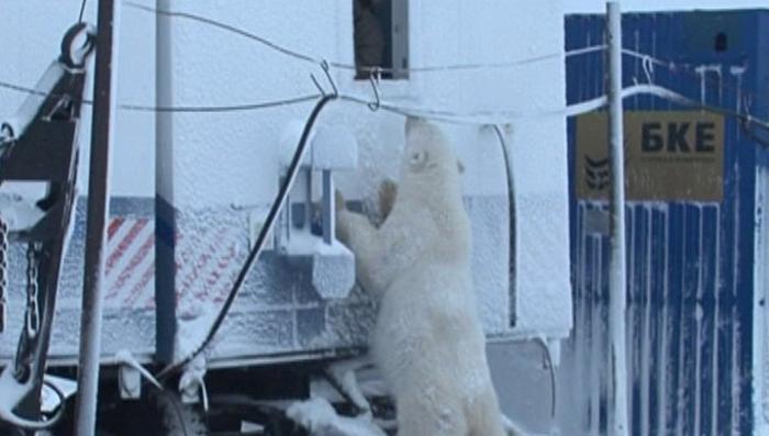 В гости к нефтяникам повадилась ходить медведица