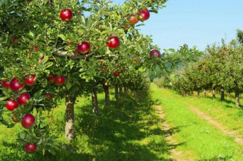 Сад-гигант в Краснодарском крае – самый большой фруктовый сад в Европе