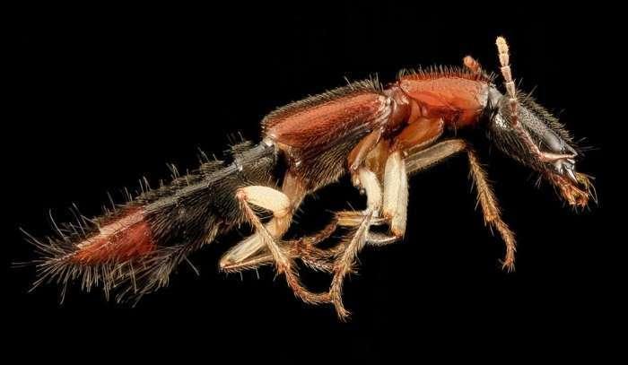 Cтафилиниды или жуки-хищники.