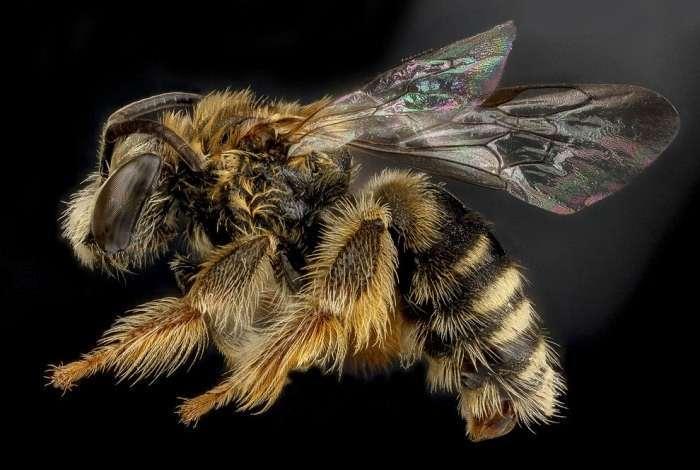Пчела Exomalopsis analis, Доминиканская Республика.