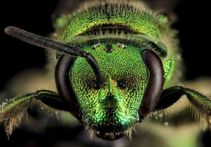 Галиктида Augochloropsis metallica из семейства пчёл отряда Перепончатокрылые насекомые.