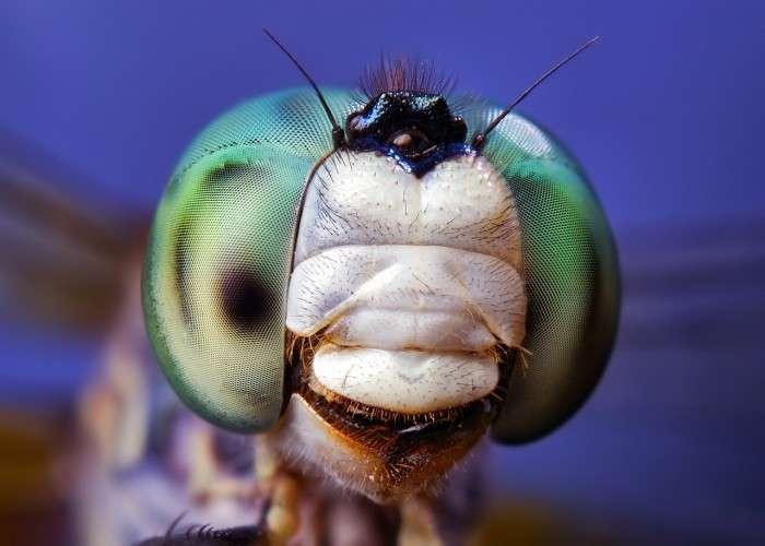 Стрекоза Pachydiplax longipennis.