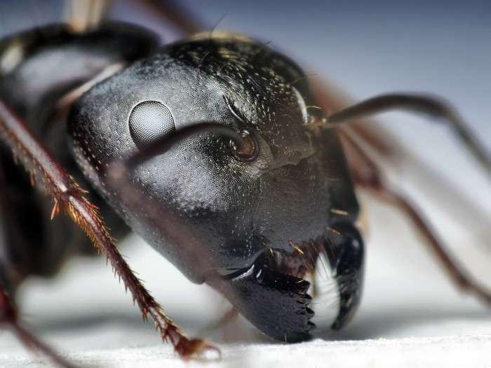 Голова черного муравья.
