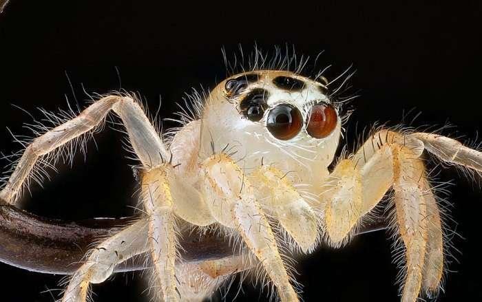 Неопознанный паук-скакун.