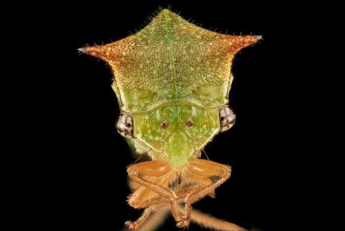 Проворное насекомое Бодушка бизонья.